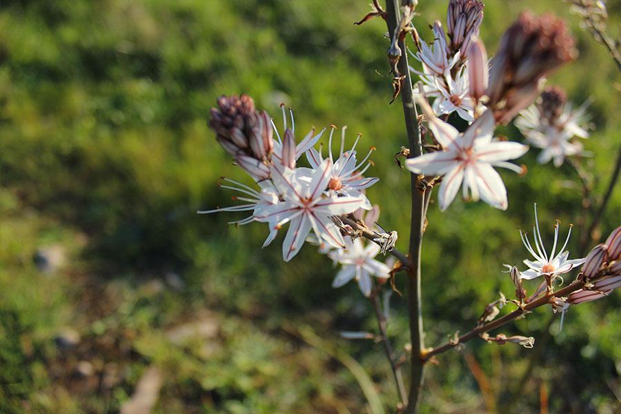 Asfodelo mediterraneo - pianta perenne della famiglia Asphodelaceae